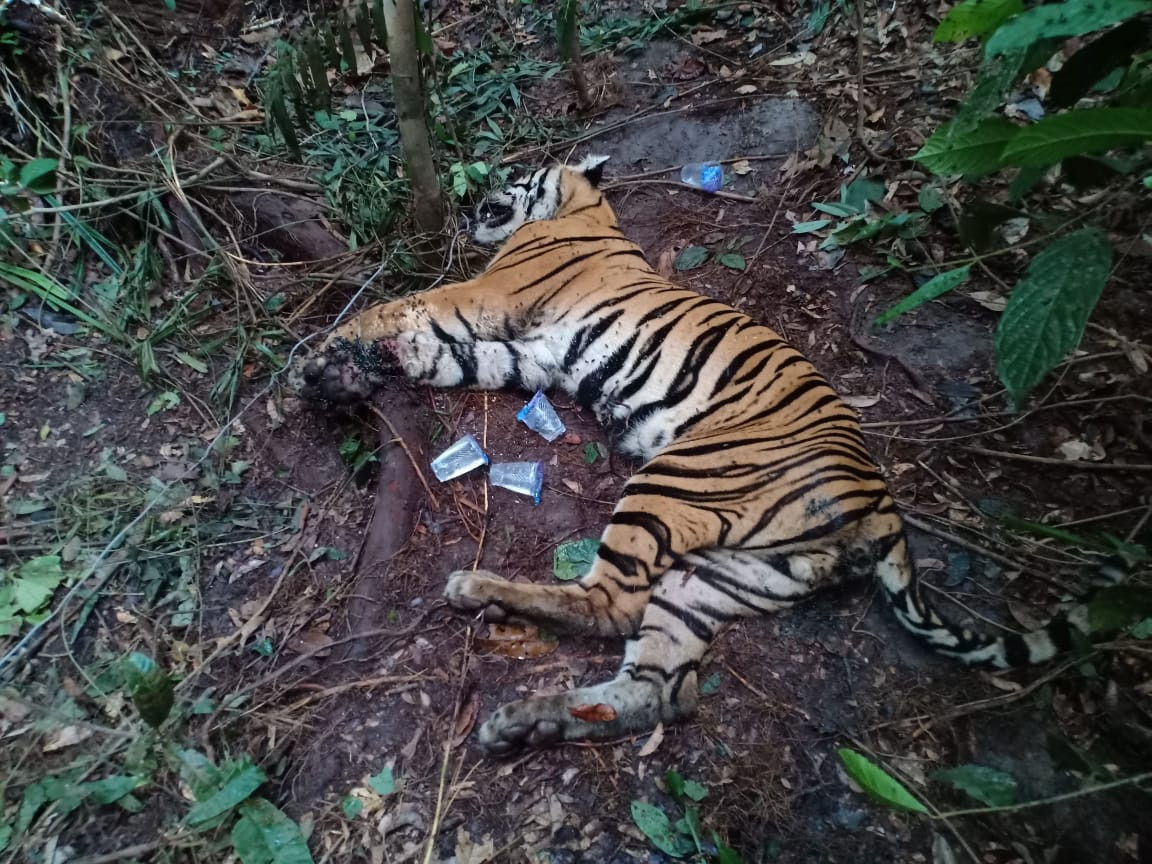 Sumatran tiger found dead in Aceh reportedly died of poisoning