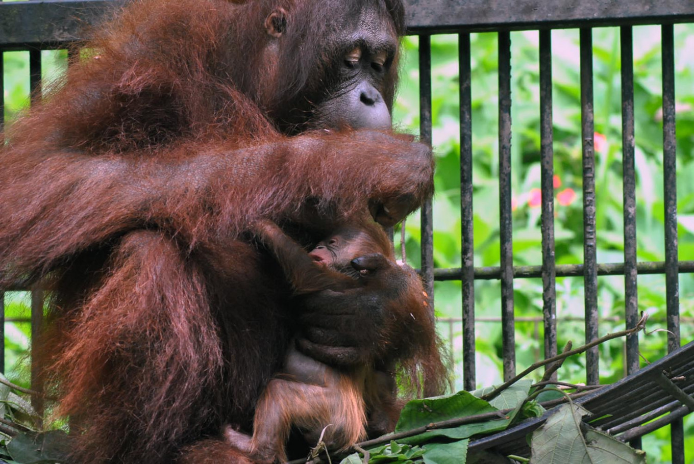 Two Bornean orangutans rescued from illegal captivity in Central Java