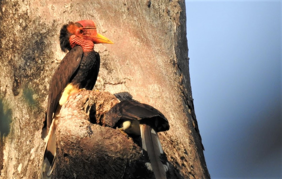 Yokyok Hadiprakarsa: Guardian of Indonesia's endangered helmeted hornbill