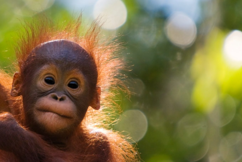 WWF Indonesia, Amazon team up for orangutan conservation in Kalimantan