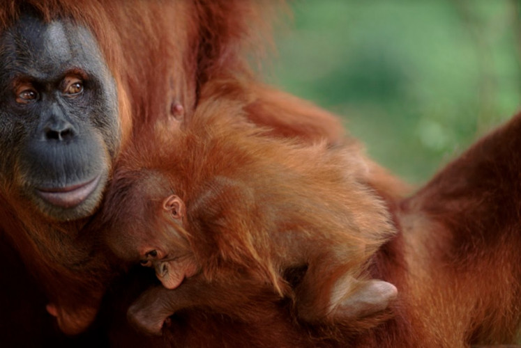 The population of orangutans is currently threatened by illegal hunting, habitat destruction and wildlife trade.