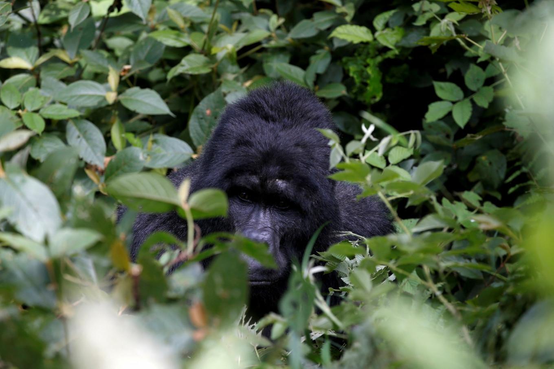 Gorilla attacks zookeeper in Spain