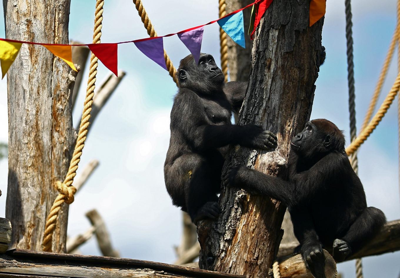 Need a bit more human contact? So do London Zoo's gorillas