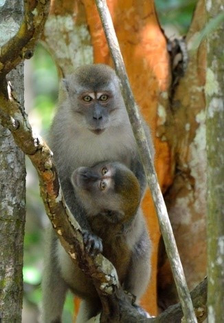 Natural habitat: Two Long Tailed Macaques enjoy their time on a tree. The flora and fauna was survived during six years in the peatlands of Sumatra, thanks to the Riau Ecosystem Restoration program.