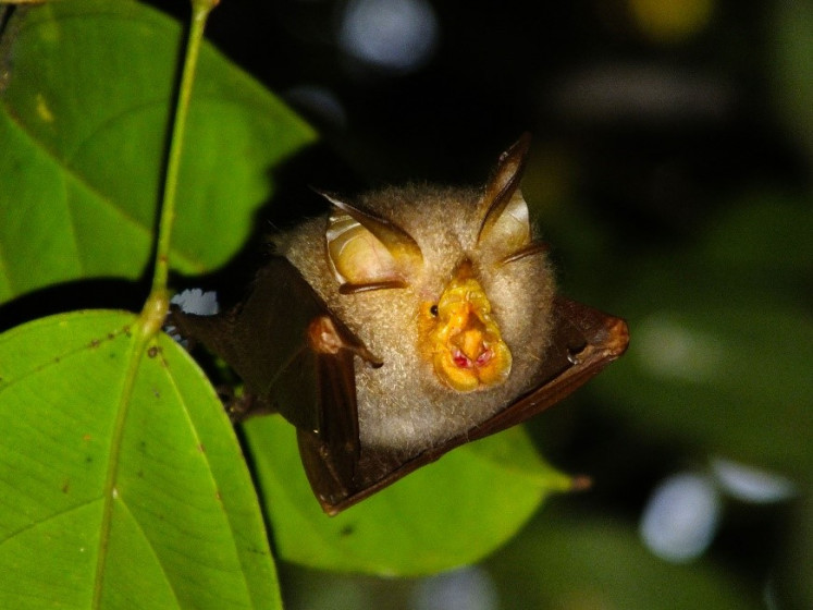 Pucker up: Many species, including this trefoil horseshoe bat, can be found in the Restoration of Riau Ecosystem (RER) project site in the Sumatran forests.