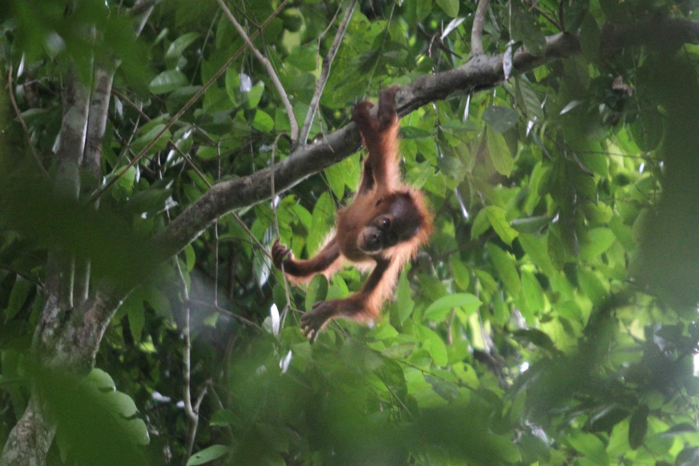 Sumatran orangutan released into wild after testing negative for COVID-19