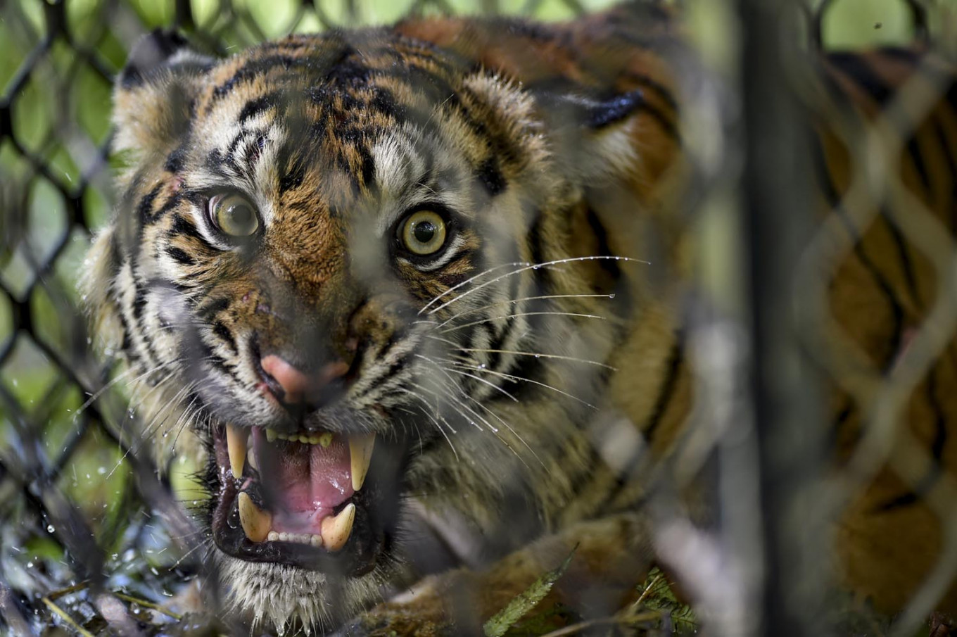 Sumatran tiger returns to wild after recovering from injuries caused by snare