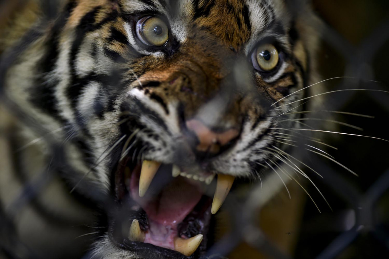 Four arrested in Indonesia tiger poaching case