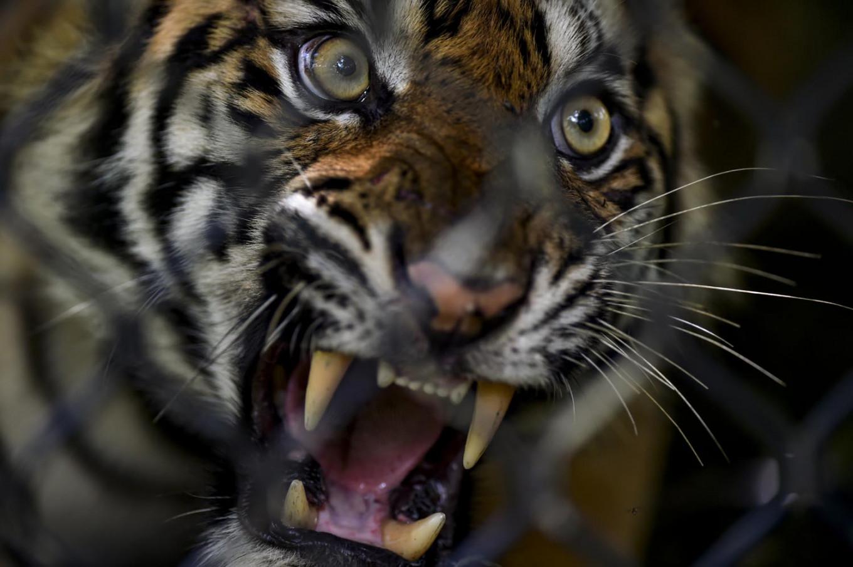 Skinny tiger sparks concerns, East Java zoo denies malnutrition