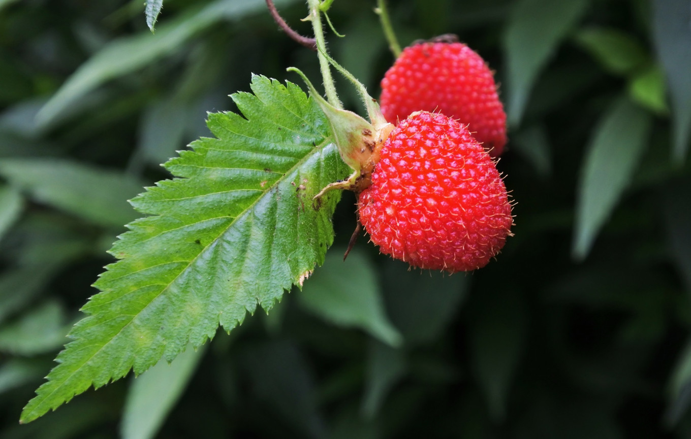 Mulberries useful in preventing early aging: Study
