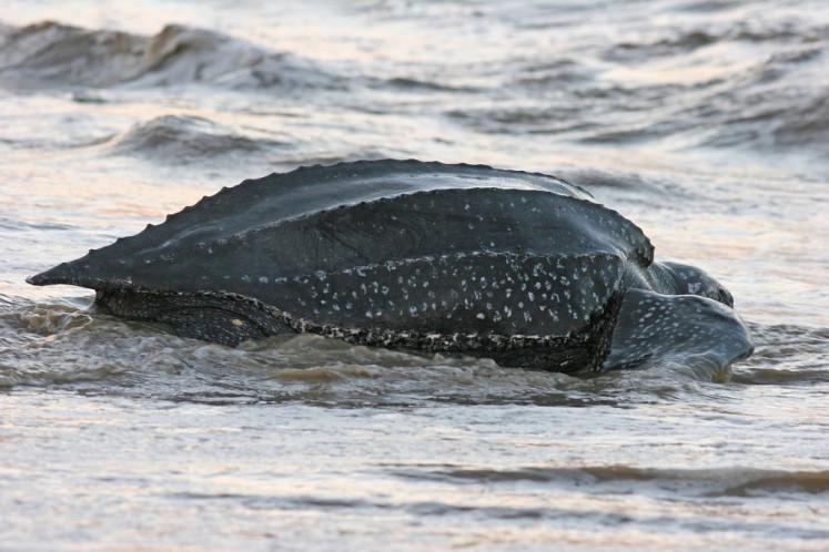 Leatherback sea turtle found dead on East Nusa Tenggara's coast