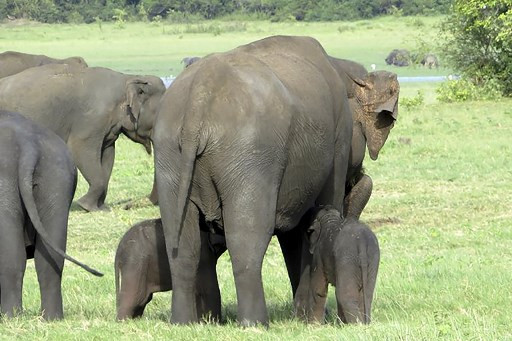 This handout picture taken on July 6, 2020 and received as a courtesy of Sumith Pilapitiya shows a pair of baby elephants with their mother at the Minneriya National Park, north-east of Colombo. - Sri Lanka's wildlife authorities were investigating a rare sighting of possibly the first pair of baby elephant twins with their mother at a national park, a top official said on July 8. Department of Wildlife Conservation (DWC) Director-General Tharaka Prasad said the pair of baby elephants were seen by his trackers at the Minneriya sanctuary.