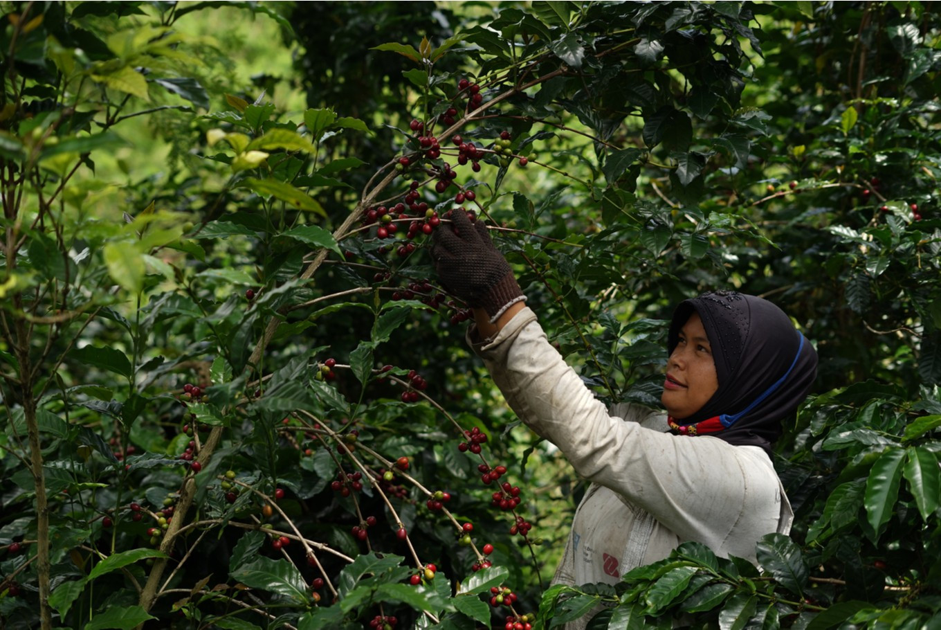 'Filosofi Kopi: Aroma Gayo' explores coffee, philosophy in Aceh