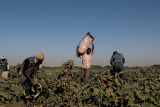 """Mussa Adam Bakr (R), 48, who farms a plot of land next to a mud brick factory, collects eggplants with his workers on his field on Tuti Island, Khartoum, Sudan, February 14, 2020. """"I came to Tuti in 1988 because the land here is the best for agriculture and close enough to supply markets, and it makes for a good income"""", said Bakr. """"Through out the year the Tuti earth produces all sorts of vegetables like potatoes, onions and aubergines."""" Reuters/Zohra Bensemra"""