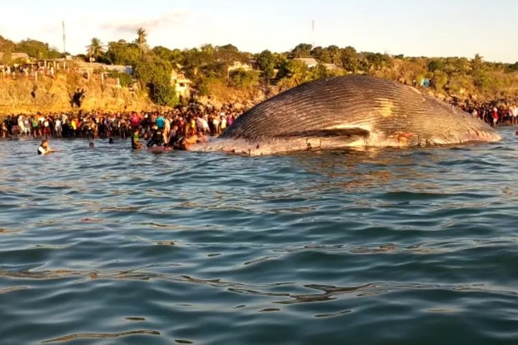 100-ton dead blue whale found stranded, decomposing in Kupang Bay