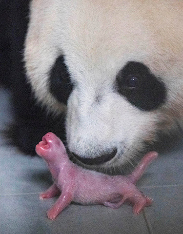 Chinese giant panda gives birth in South Korean zoo