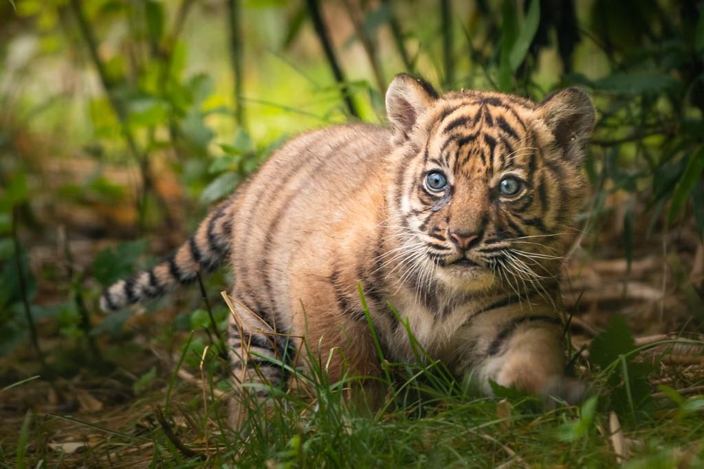 Sumatran tiger cub born in Polish zoo