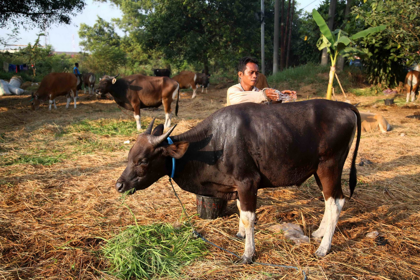 A sustainable solution for Indonesia's love of beef