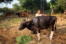 Livestock trader Tarmizi washes a cow at a sale site for qurban (animal sacrifice) livestock in Cileungsi, Bogor regency, on July 22. Tarmizi and his colleagues shipped at least 40 cattle from their hometown in Bima regency, West Nusa Tenggara, to Tanjung Priok Port in North Jakarta. In line with COVID-19 health protocols, they had to pay Rp 600,000 per person to obtain health certificates to be allowed to board the ship. JP/P.J.Leo