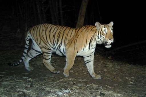 Tigers are numbered at 2,967 in the country, 312 in Maharashtra
