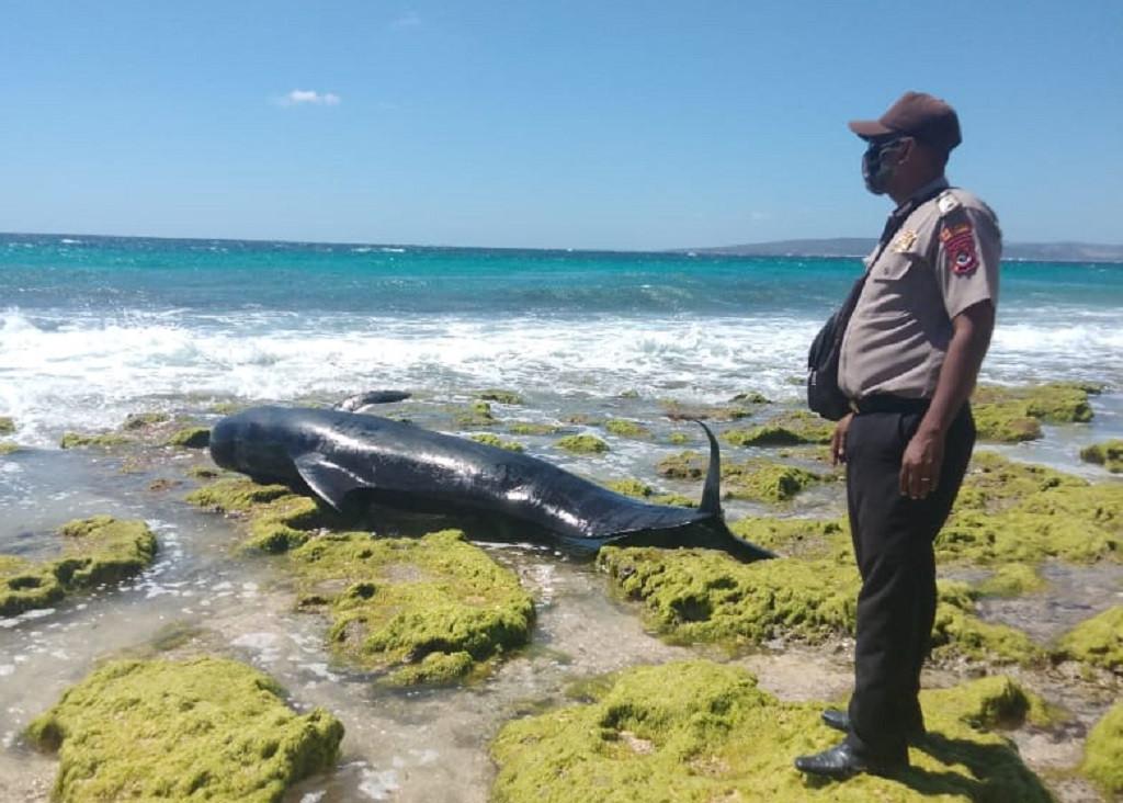 Ten beached pilot whales die in East Nusa Tenggara