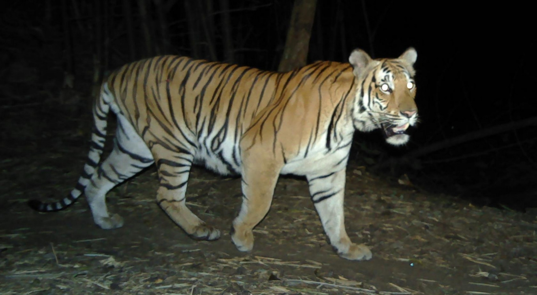 Rare tiger spotted in Thai jungle