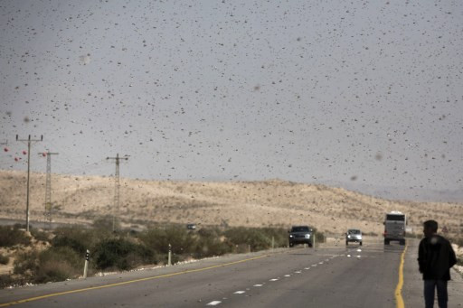 Plague to protein: Israeli firm seeks to put locusts on the menu