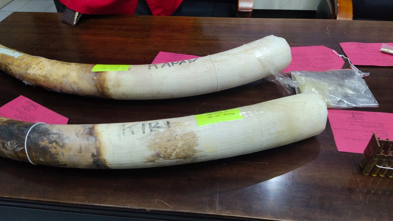 Two suspected elephant poachers arrested, tusks seized in Riau