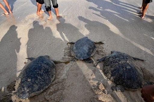 Bali sea turtles set free after poacher arrests