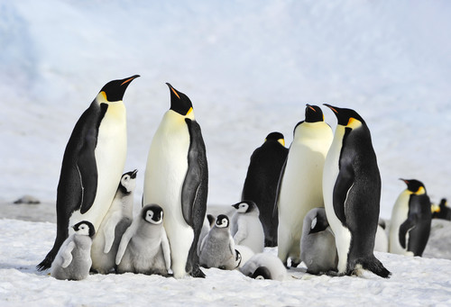 Satellites reveal hidden colonies of Emperor penguins