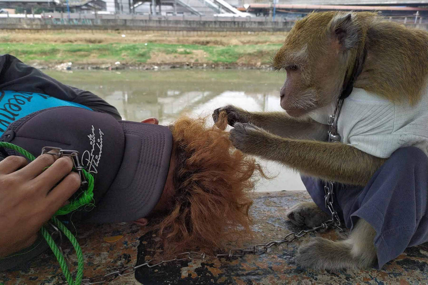 A monkey plays with its master's hair on the banks of the West Flood Canal in Tomang Pulo, West Jakarta, on Aug. 7. Topeng monyet (Monkey street performances) have resumed as Jakarta continues to ease large-scale social restrictions (PSBB). JP/P.J.Leo