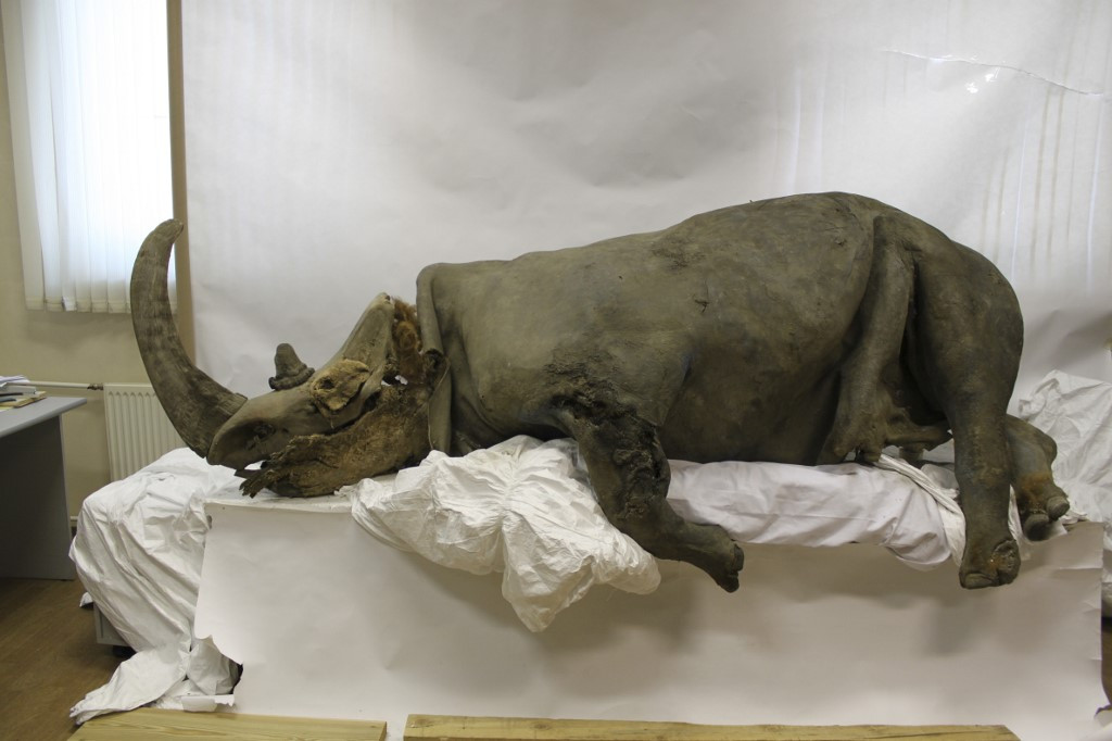 Humans off the hook? Climate change killed woolly rhinos, says study