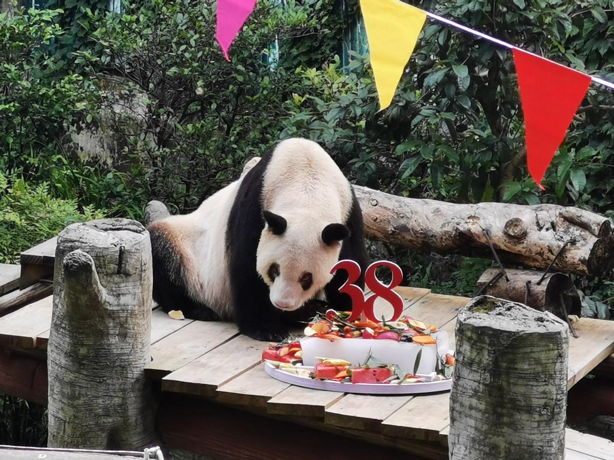 World's oldest captive giant panda, Xinxing, celebrates 38th birthday