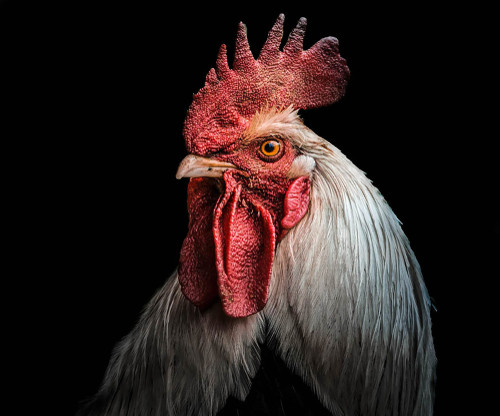 Justice sought for Marcel, French rooster shot for crowing
