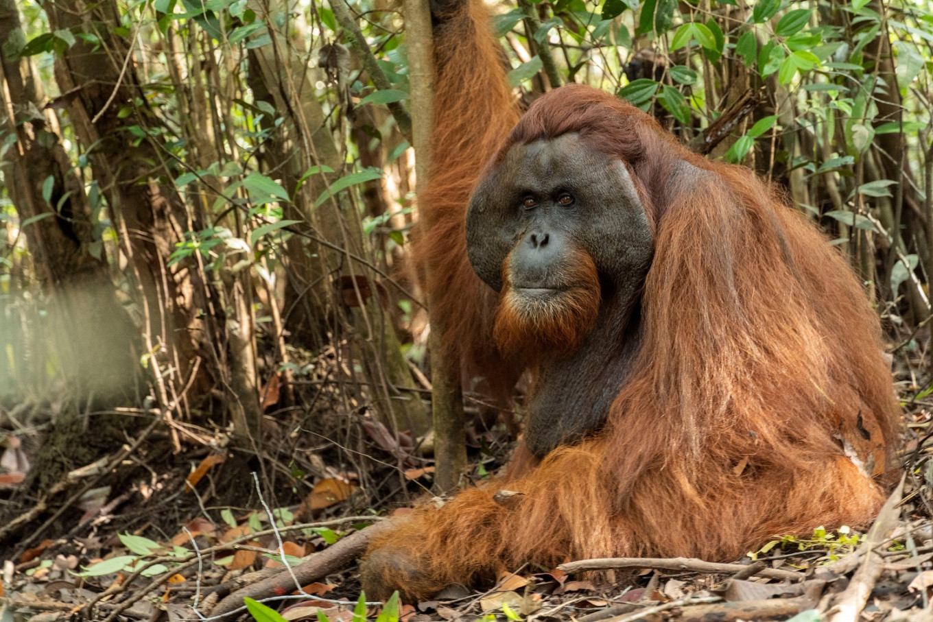 Orangutan found on palm oil plantation returned to the wild