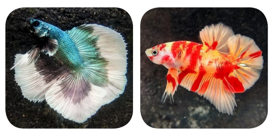 Betta Fish Bring Joy To Owners During Covid 19 Sat August 29 2020 The Jakarta Post