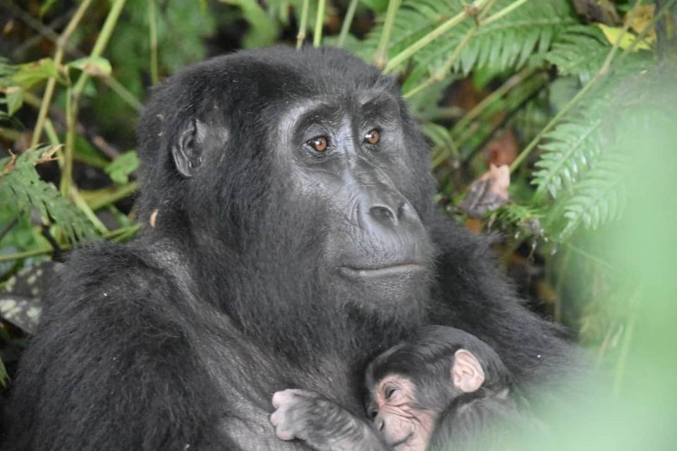 Uganda says it has rare gorilla 'baby boom' in park in country's southwest