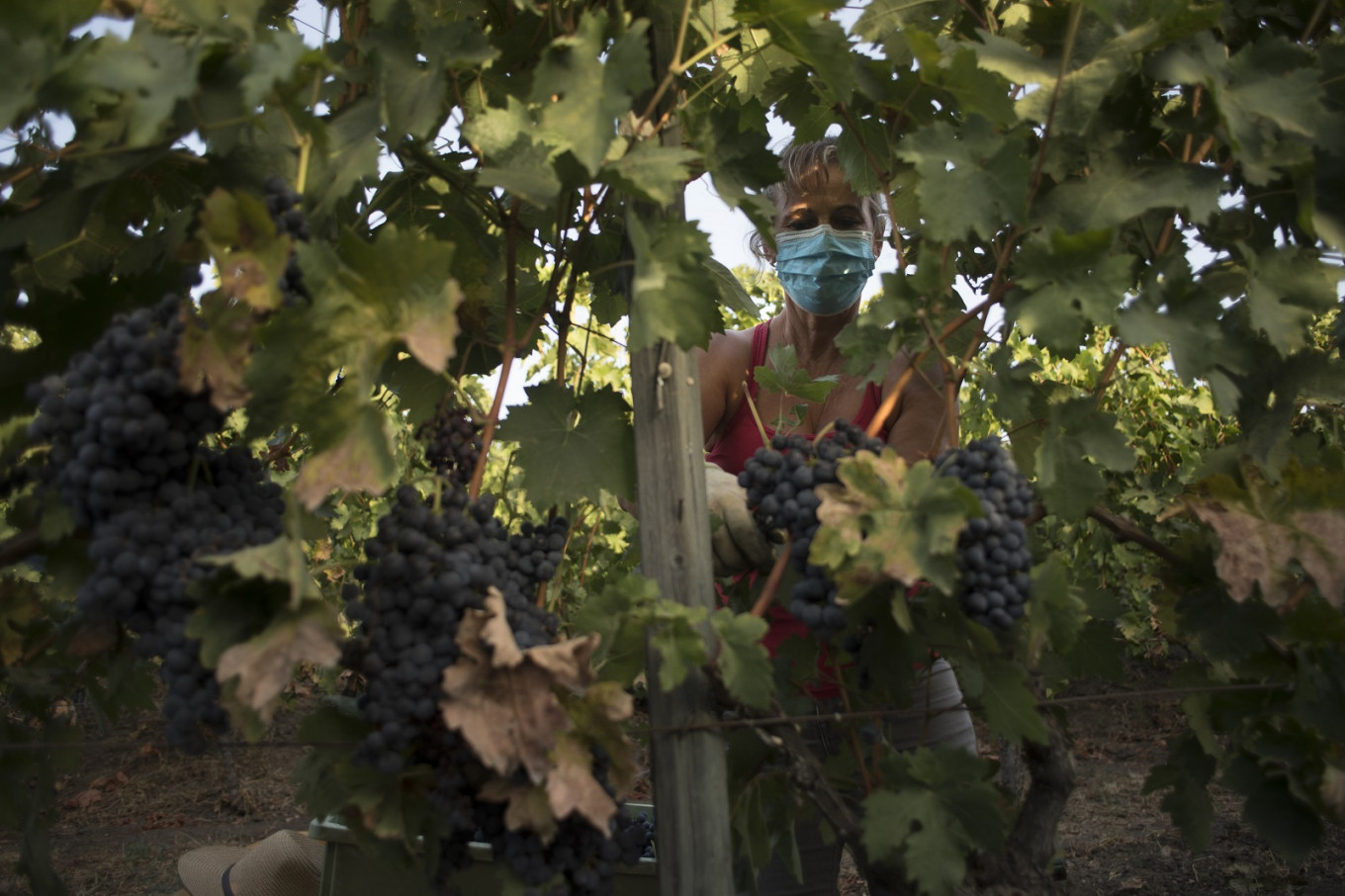 Spain vineyards feel the pinch but harvest must go on