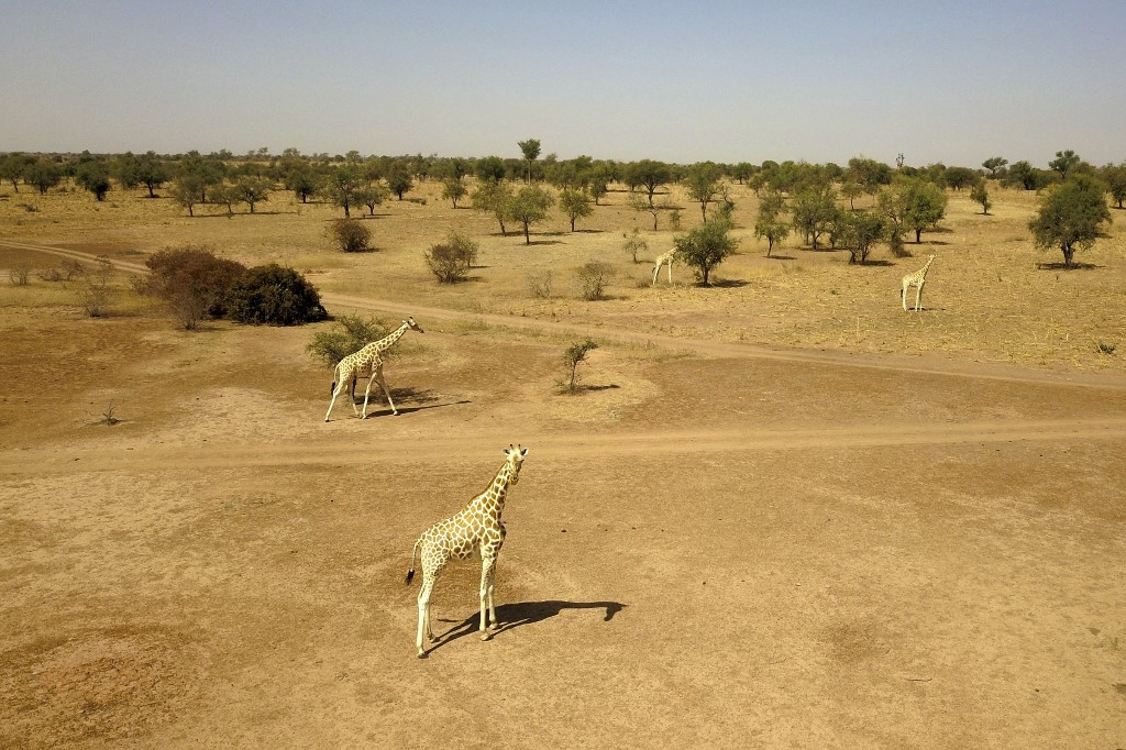 Giraffe haven in Niger faces uncertain future after attack