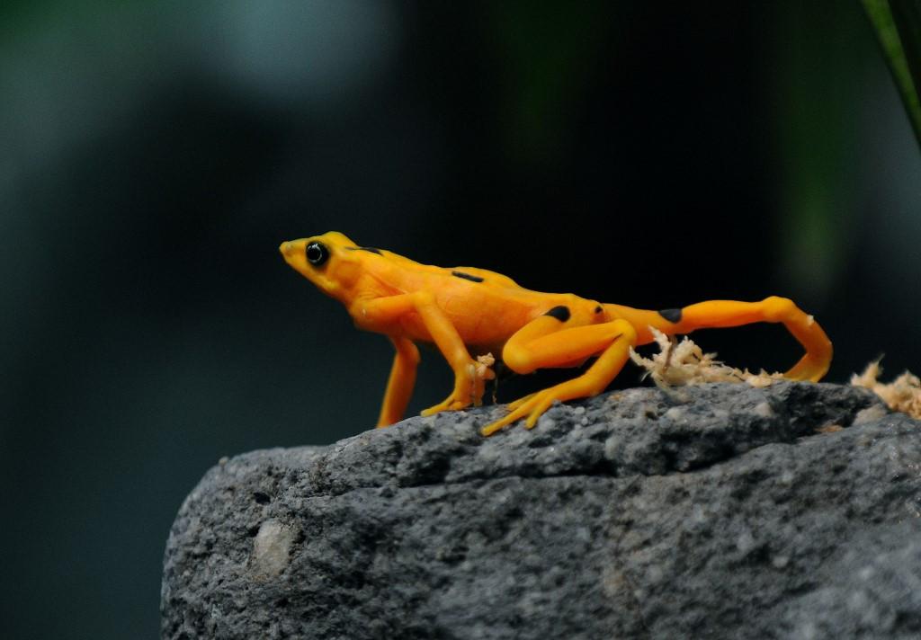 'Superfungus' threatens last Panamanian golden frogs
