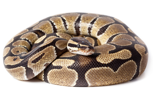 Constricting or constrictor? Man uses snake as face mask
