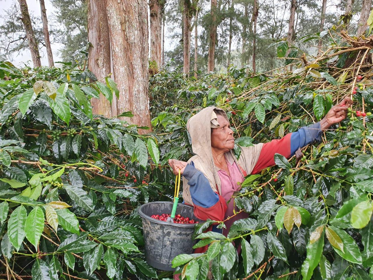 Social movement helps coffee farmers in Papua's Dogiyai sell backstock