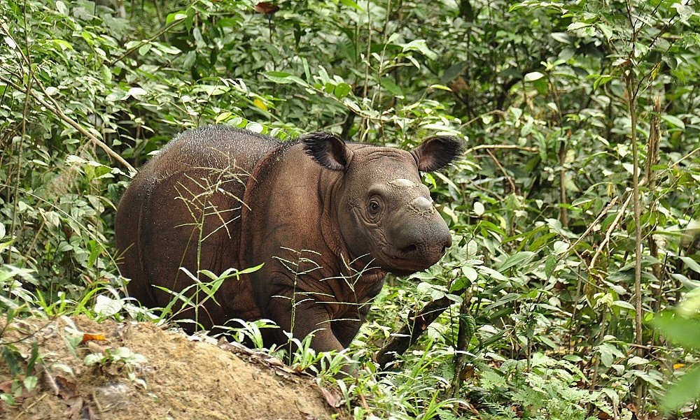 Saving Sumatran rhinos: The new challenge