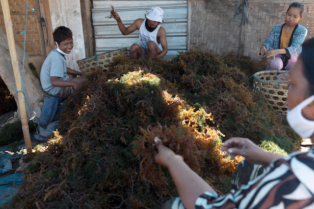 With foreign tourists gone, Balinese rediscover seaweed farming