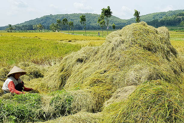 Indonesia to develop food barns to secure rice stocks