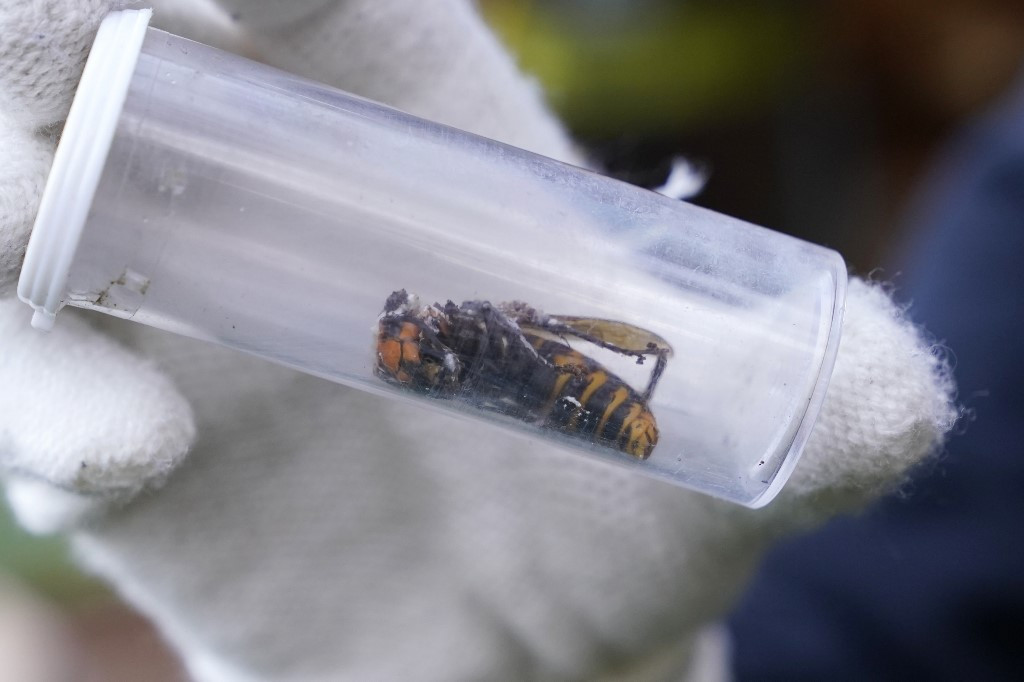 Workers eradicate first nest of 'murder hornets' found in US