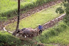 A farmer plows rice fields using the help of two buffaloes on agricultural land near a rest area of the Bawean-Salatiga toll road in Central Java on Nov. 2, 2020. Ahead of the rainy season, farmers have begun preparing for the next crop of rice. JP/PJ Leo