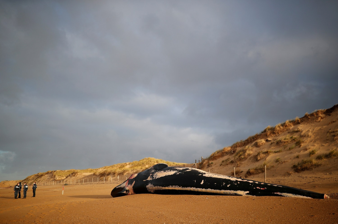 Emaciated fin whales wash up dead on French shores