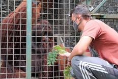 Dutch volunteer Tojeiro, 27, feeds a Bornean Orangutan at the Wildlife Rescue Center in Kulon Progo, Yogyakarta, on Nov. 20. The center is open to volunteers who would like to help take care of endangered animals. JP/Donny Fernando