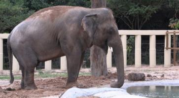 World's loneliest elephant starts new life in Cambodia
